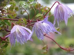 Blue Flower Vine - climbers and vines