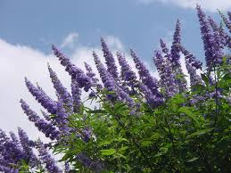 tree with purple flowers plantanswers plant answers lilac vitex the next mega