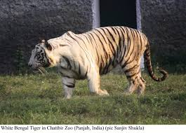 causes for decline in tiger numbers tigers and other cats