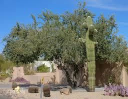 native arizona plants a wonderful dilemma part 2 ramblings from a desert garden