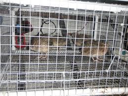 building a simple quail cage florida hillbilly