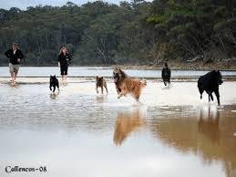 belgian sheepdog australia beljekali u2013 belgian shepherds australia