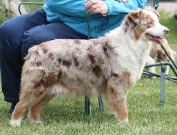 australian shepherd illinois home
