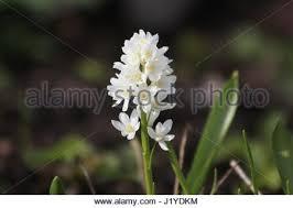 puschkinia scilloides var libanotica spring window box plant