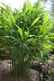 era nurseries buy trees online wholesale australian native 79 best plant species and design for nicaragua coast images on
