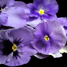 edible blue flowers edible pansy blue pansy flowers slightly minty slightly sweet