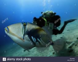 wedge tail triggerfish rhinecanthus rectangulus with diver stock