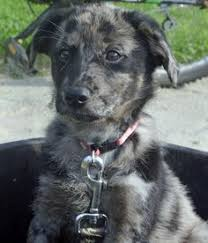 australian shepherd vomiting australian shepherd lab mix puppies google search animals