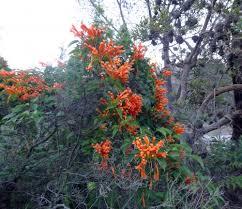 australian native climbing plants our worst weeds u2013 marcus beach bushcare association inc