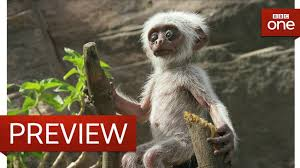 langur monkeys grieve over fake monkey spy in the wild episode