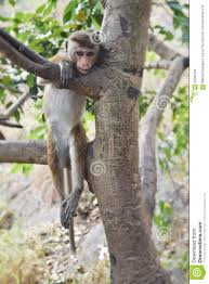 monkey hanging from the tree stock photo image 67085155
