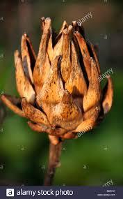 winter garden globe artichoke unpicked gone to seed vegatable