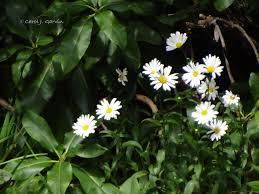 shasta daisy careann u0027s musings