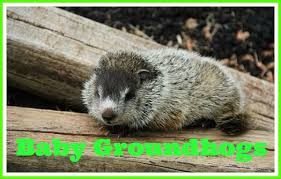 u0027s difference groundhog gopher animal facts