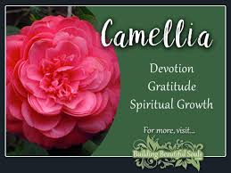 camellia meaning u0026 symbolism flower meanings