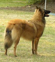 belgian sheepdog rescue ohio intention hill belgian shepherds blackbelly sheep