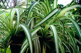home design elements reviews spider plant yellow leaves wizrd me
