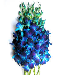 blue orchids just orchids fresh blue dendrobium orchids