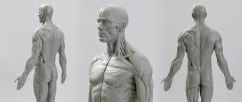Human Anatomy Reference Human Anatomy Reference Model What Shall I Buy