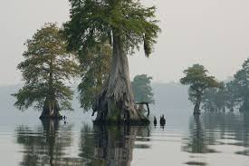 native plants of nc great dismal swamp wikipedia