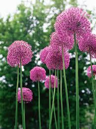 allium flowers allium