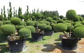 juniper topiary ymker greenhouse and landscaping