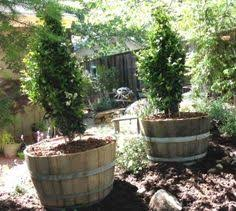 growing herbs in wine barrels planting barrels and herbs