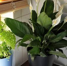 indoor plant indoor plants house plants jungle in willunga