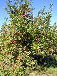 edible landscaping planning a small home orchard garden org