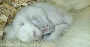 Are Bears Color Blind Polar Bear Cubs Open Their Eyes And See Their Mother For First