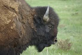 Bison Connect Department Of Interior Yellowstone Bison Western Watersheds Project
