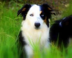 australian shepherd double coat our thoughts and beliefs