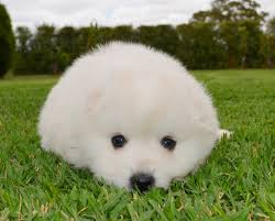 american eskimo dog giving birth 24 best japanese spitz images on pinterest japanese spitz