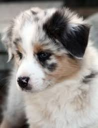 australian shepherd indiana mini australian shepherds indiana cutie pies pinterest mini
