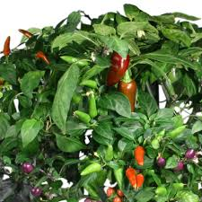 amazon com aerogarden chili pepper seed pod kit 7 pod plant
