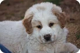 australian shepherd virginia oso adopted puppy prince william county va golden retriever