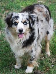 australian shepherd 8 months australian shepherd 8 months aussie wiggle best doggies