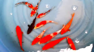 feng shui koi fish color symbol and meaning youtube