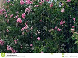 trellis roses climbing roses trellis beautiful fence front of house stock photo