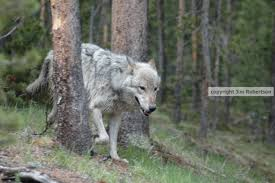 Washington State Conservation Commission Regional by Washington Wolves Exposing The Big Game Page 7