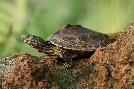 Texas Map Turtle Living Alongside Wildlife Opposites Attract