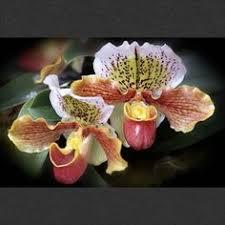 Rainforest Passion Flower - passionflower rainforest plants passion flower purrrple