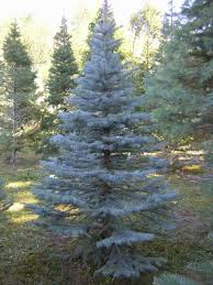 blue spruce trees shelton s tree farm tree types care