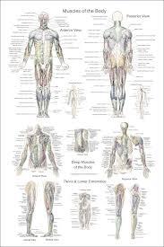 The Human Anatomy Muscles Human Anatomy Muscles Of The Body Www Uocodac Com