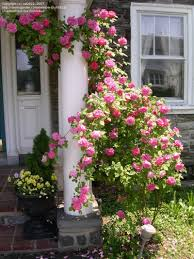 best 25 thornless roses ideas on pinterest climbing roses