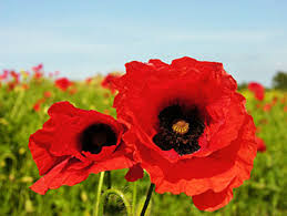 poppies flowers all in the plant family the poppy family a lovely garden