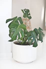 indoor plants that need little light indoor plant guide blackbird