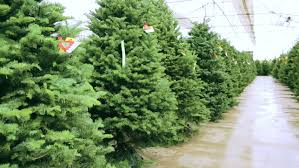 beautiful fresh cut trees at tree farm stock