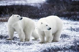 u s fish u0026 wildlife service cites cop16 polar bears