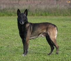 belgian sheepdog malinois the belgium malinois and epilepsy pets4homes